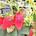 静岡県 静岡市は石垣いちごの産地 ほんとうに石垣になっていました\(◎o◎)/!