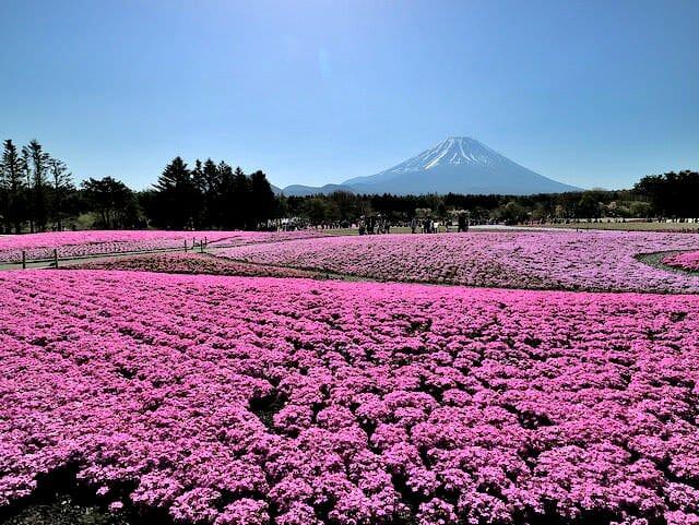 ゴールデンウィークが来ると芝桜のシーズン到来! 山梨県 富士本栖湖リゾートに行ってみた