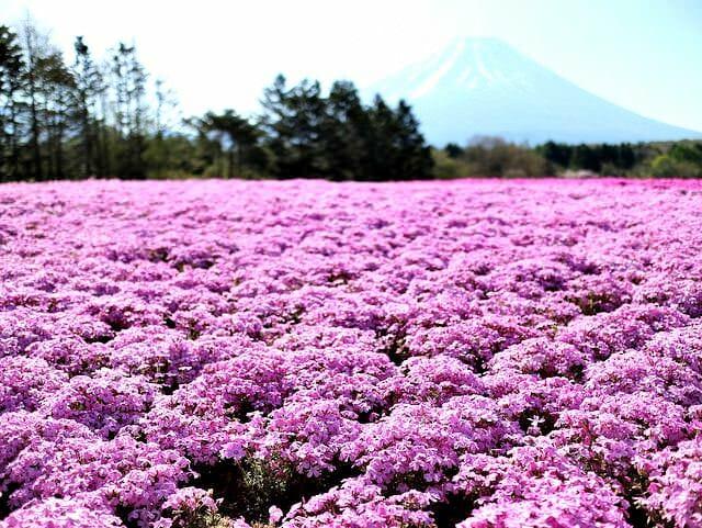 芝桜まつりオータム ローズ