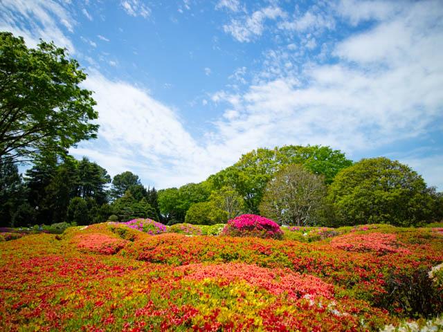 神代植物公園 つつじ園1