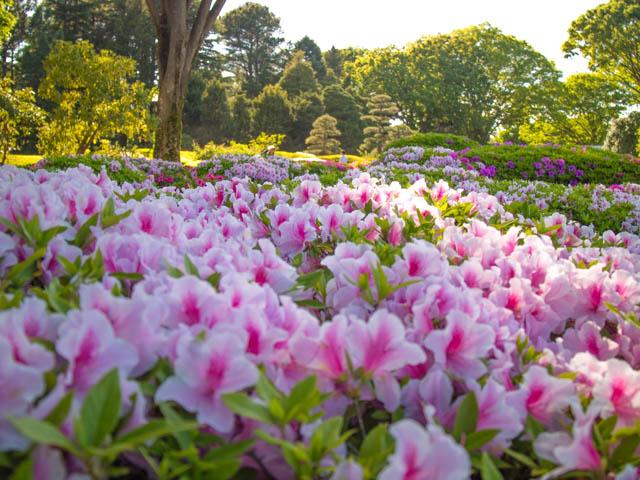 神代植物公園 つつじ園2