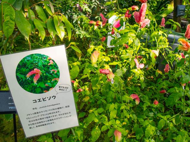 神代植物公園 大温室 コエビソウ
